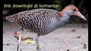 Download lagu suara burung sintar MP3