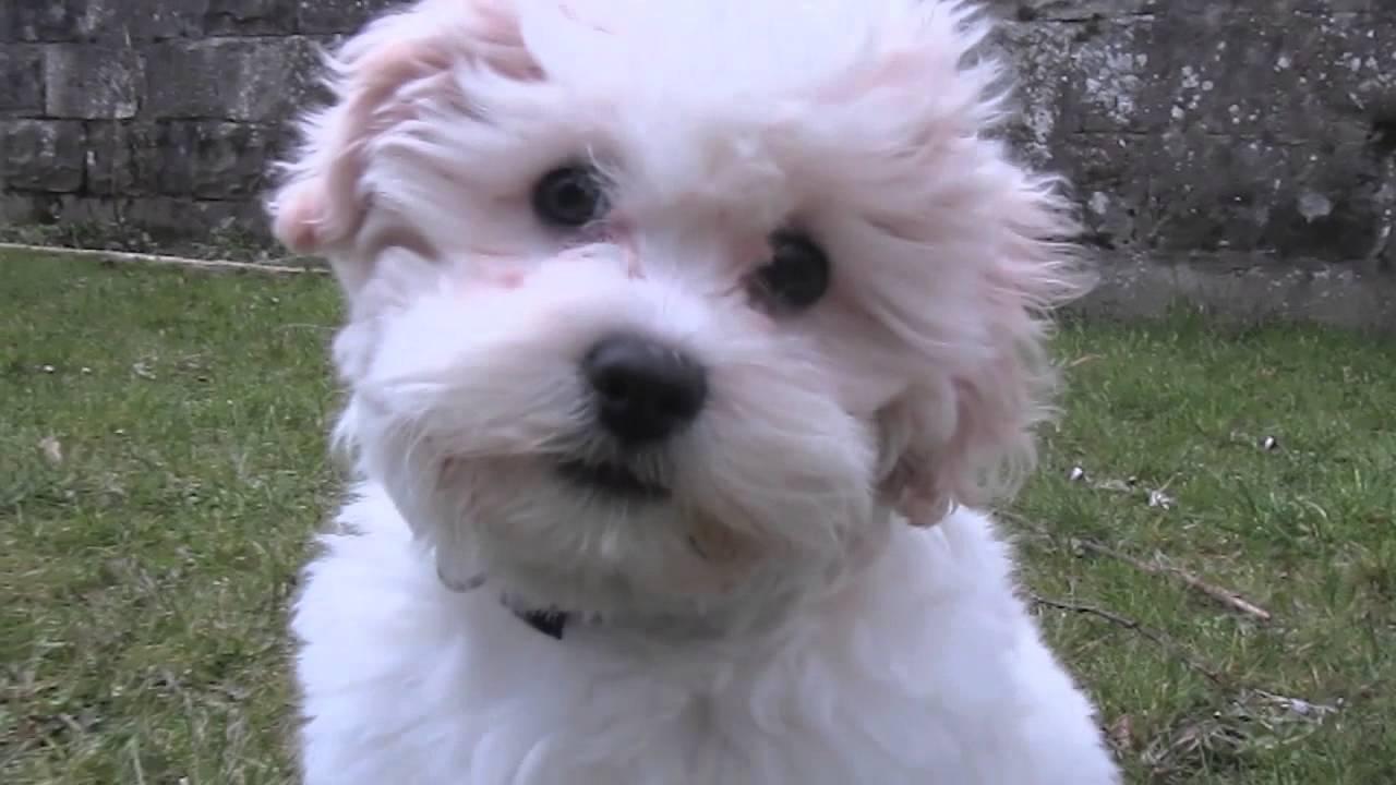 Bijon Friseshih Tzu Puppy Playing Youtube