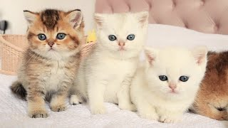 British shorthair kittens of a rare color