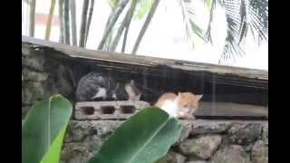Коты под дождем