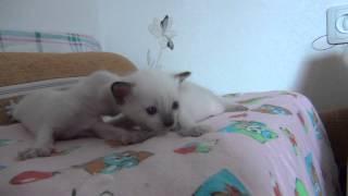 Предлагаю тайских котят, Новосибирск