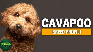 Cavapoo Dog Breed Profile | Dogs 101  Cavalier King Charles Spaniel Poodle Mix