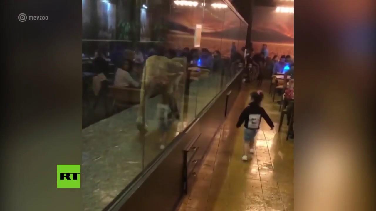 Un café de Turquía encierra a una leona en un estrecho pasillo de cristal