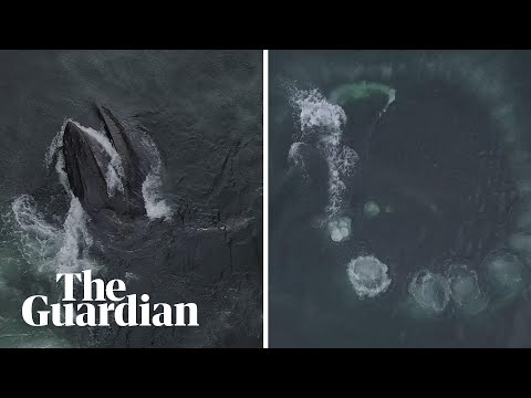 Humpback whales recorded using huge fins to forage