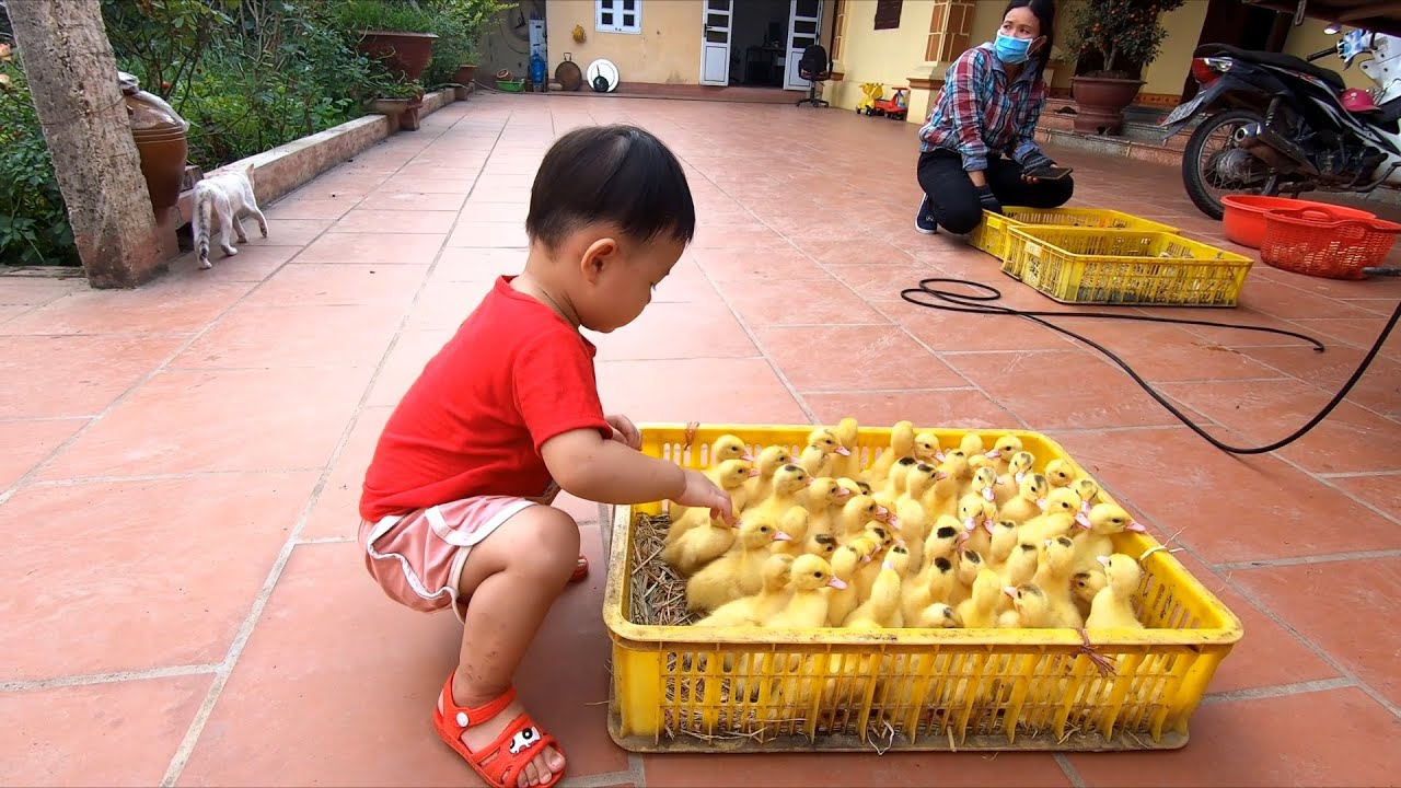 Bạn Min mua gà con vịt con về nuôi - Con gà
