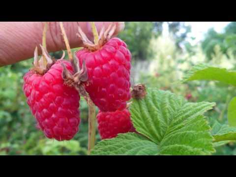 Малина Лячка или Ляшка. 2017. | земляника | редактор | клубника | ежевика | огород | малина | ягода | youtube