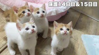 猫じゃらしにクラッキングをする子猫&生まれて2回目の爪切り【農家兄妹#12】Kitten getting her nails clipped for the second time