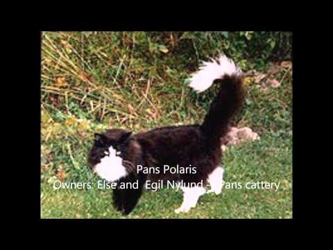 Norwegian Forest Cat history