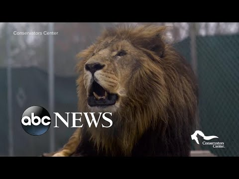 Reports claims lion was still 'running around the enclosure'