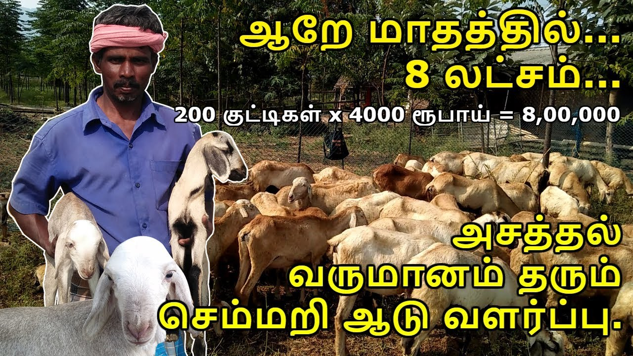 How to start profitable sheep farming business tips in tamil sheep farming profits