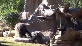 San Diego Zoo Safari Park Gorillas Super Active!