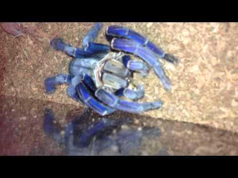 blue cobalt tarantula first feeding after molt