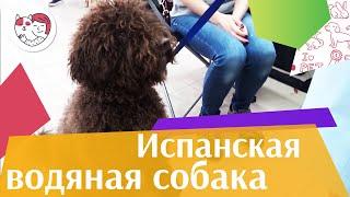 Испанская водяная собака на ilikepet. Особенности породы, уход