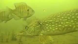 水のカメラの下で氷釣りMarcum Pancam Pike Bass Crappie Sunfish ...