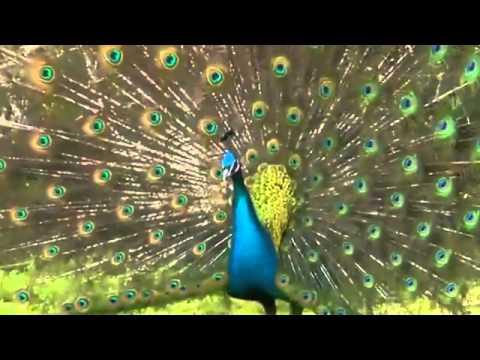 Vẻ đẹp tuyệt vời  của chim công khi xòe đuôi - Thiên nhiên tươi đẹp kỳ thú quanh ta