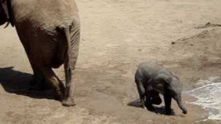 Baby elephant tries to cool off