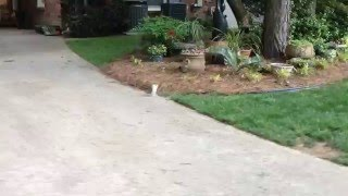 Squirrel with no hind legs does handstand to get around