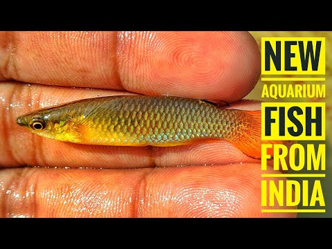 Orange Panchax KILLIFISH In Wild | New Fish From India | Aqua Adventure |