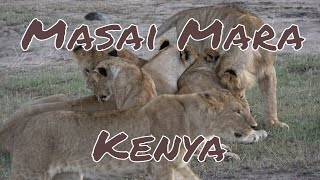 Kenia - Safari. Amazing Wildlife. Holiday in Kenya - safari. Masai Mara. Kenya travel. 4K.