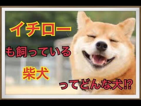 【イチローも飼うペット】柴犬ってどんな犬!? , YouTube