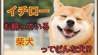ペットで犬を飼おうと迷っている方へ〜柴犬〜 世の中には様々な犬種があ...