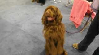 Fuzzy Wrinkles the Sussex Spaniel.