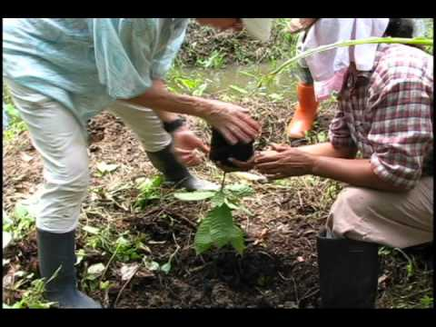 planting a cacao tree