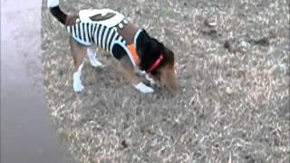 ビーグル犬は、昔は猟犬だったそうで、飼い主がはめていた軍手を丸めて...