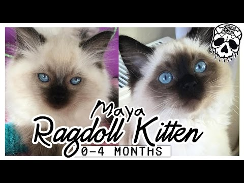 Maya - Seal Pointed Ragdoll Kitten - From 0-4 months old!