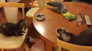 カワウソたちの晩餐に鳥も仲間に加わった。鳥にごはんをふるまっていたカワウソだが、すっとこどっこいこうなった。