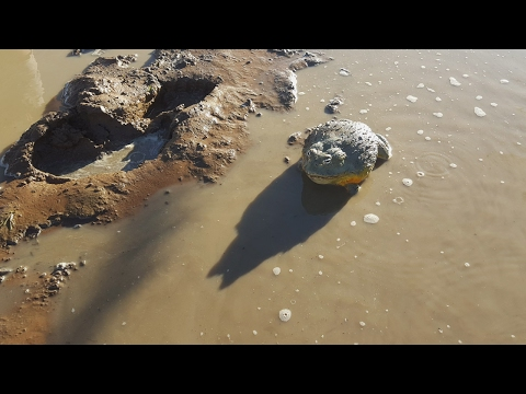 Giant Bullfrogs Surprise Attack