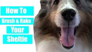 How To Brush & Rake Your Sheltie