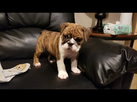 14 Common Misconceptions About English Bulldog Puppies