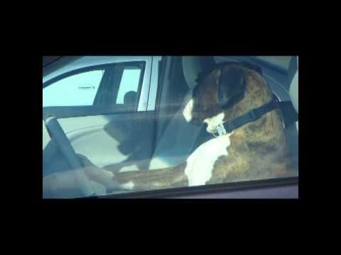 Dog honks horn