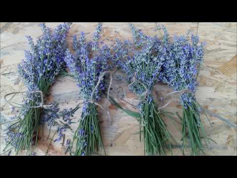 Вопрос: Какое лекарственное растение при варке пахнет, как лаванда?