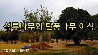 석류나무와 단풍나무 이식 #소나무판매 #소나무정원수 #…