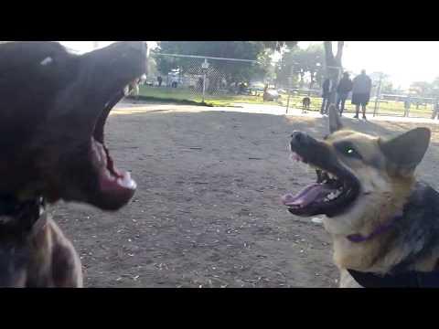 Epic Battle German Shepherd vs. German Shorthaired Pointer
