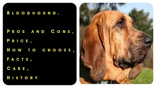 Bloodhound. Pros and Cons, Price, How to choose, Facts, Care, History