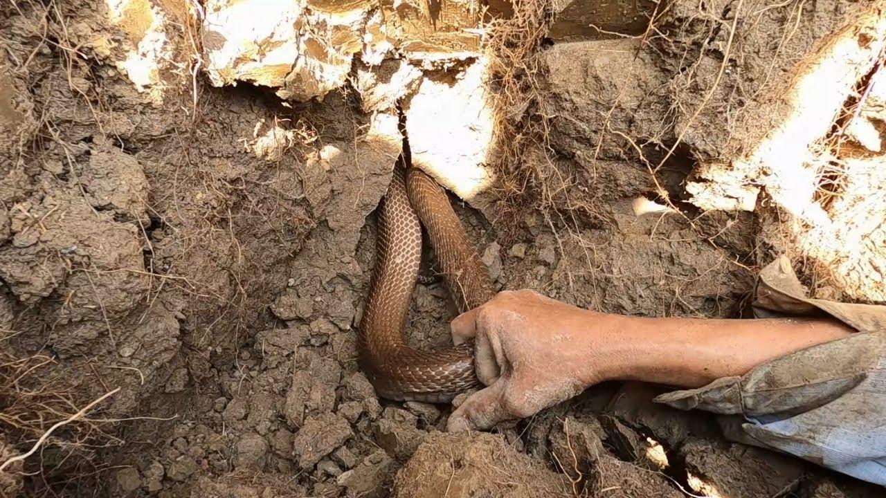 Thò Tay Bắt Rắn Độc Kiếm Tiền Triệu Nhưng Rất Nguy Hiểm Không Ai Dám Làm (Hunter Cobra)
