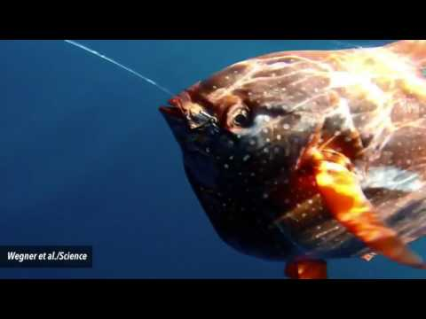The Warm Blooded Opah Registered