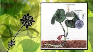 Урок Біологія. 7 клас . Презентація :Рослини по відношенню до світла.