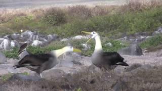 Waved Albatross Mating Dance -- the bird and human version!