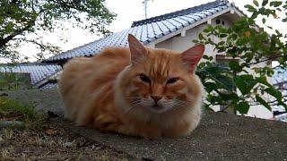 フワフワ茶トラ野良猫がモフられにきた。 thumbnail