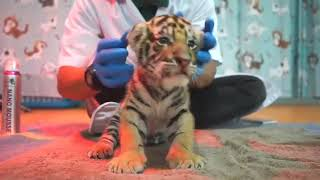 Caring for a Newborn Tiger Cub