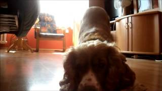 Lady The Cocker Spaniel Performs Amazing Dog Tricks
