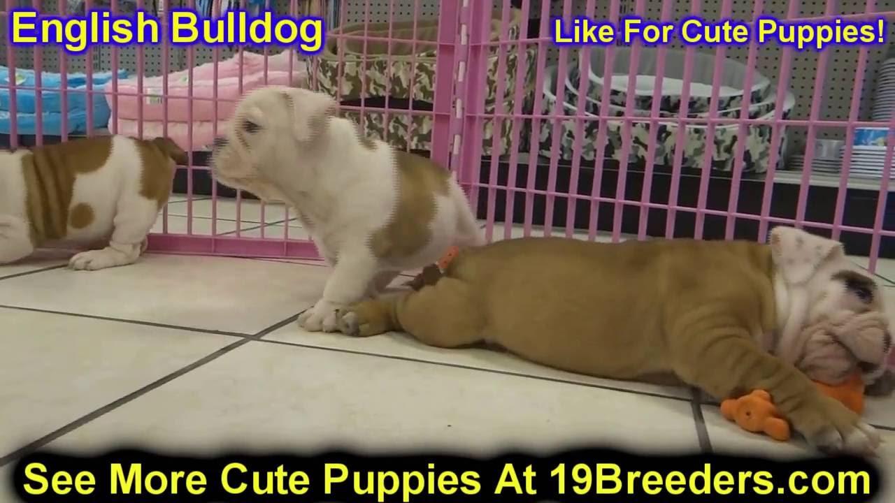 English Bulldog, Puppies, Dogs, For Sale, In Miami, Florida, FL ...