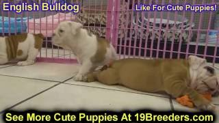 English Bulldog, Puppies, For, Sale, In, New York, City, Ny, Albany, State, Up