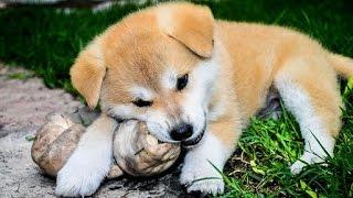 ** Akita Dog Training - Akita Puppies Training - Akita Inu Training - Akita Training ** WOOF WOOF