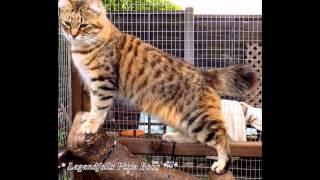 Пиксибоб, или пикси-боб (Pixie bob) породы кошек( Slide show)!