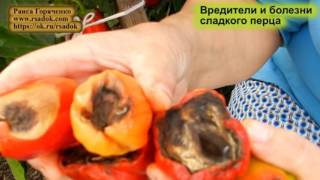 Вредители и болезни сладкого перца